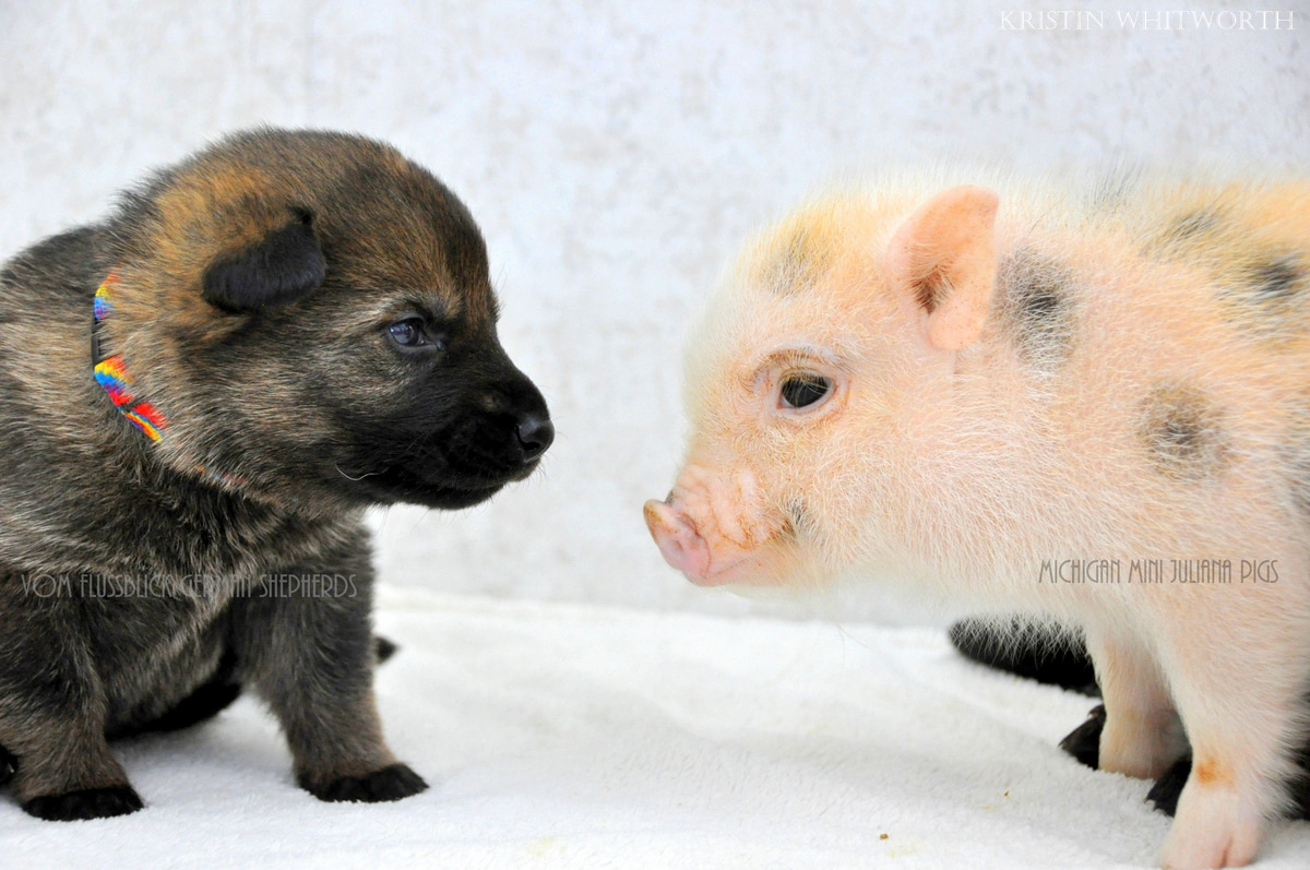 German Shepherd Puppies & Mini Piglets Are Best Buddies ...