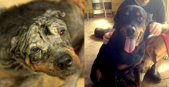 3.19.14 - Suffering Rottweiler Makes Incredible Transformation1
