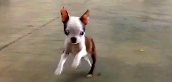 Boston Terrier Puppy Bounces Like a Bunny