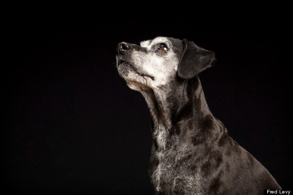 """Faith used to be completely black, but now has a beautifully frosted face. """"I'm a sucker for senior dogs,"""" Levy said."""