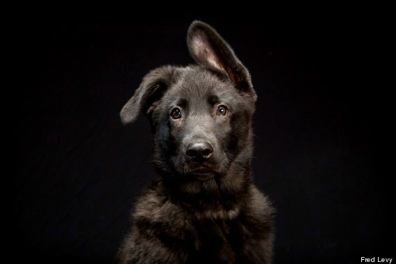 """Pawnee is an adorable young German shepherd. """"You gotta love the floppy ear of a puppy German shepherd."""""""