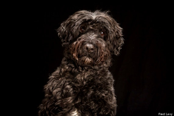 """Shadow is a Portuguese water dog. """"I love this photo because he looks like a muppet,"""" Levy said."""