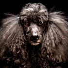 Stunning Photos Help Fight Black Dog Syndrome