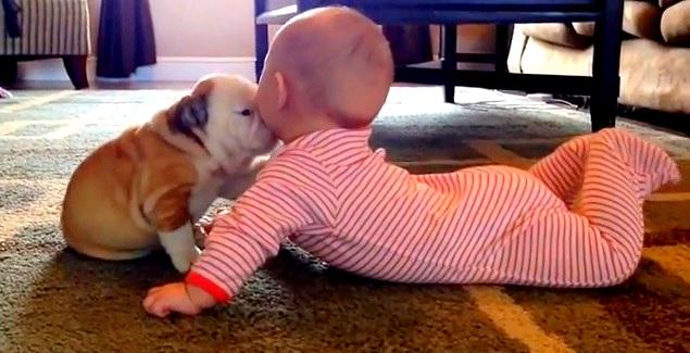 English Bulldog Puppy Shares Good Morning Smooches With Baby