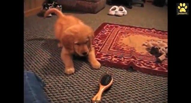 Golden Retriever Puppy Meets the Brush