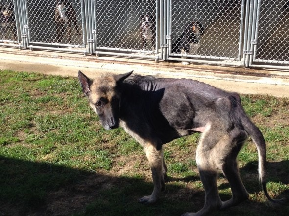 Rescued German Shepherd Inspires Many To Fight Animal