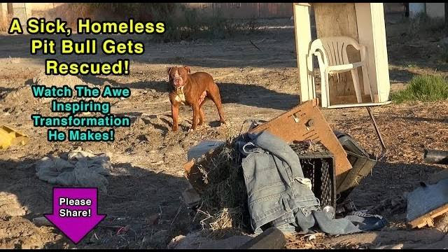 A Sick Homeless Pit Bull is Rescued & Makes an Inspiring Transformation!