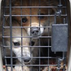 14 Pomeranians and Chihuahuas Rescued from Cramped, Filthy Car
