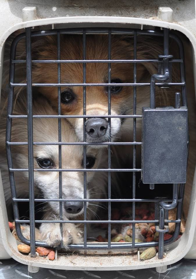 14 Pomeranians And Chihuahuas Rescued From Cramped Filthy Car
