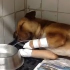 Dog Recovers after Landscape Employee Severs Its Legs