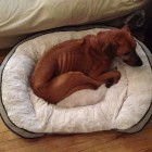 Rhodesian ridgeback Safe at Home after Missing for Two Months