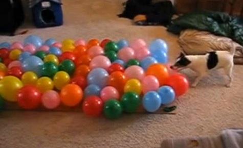 Dog V.S. Balloons