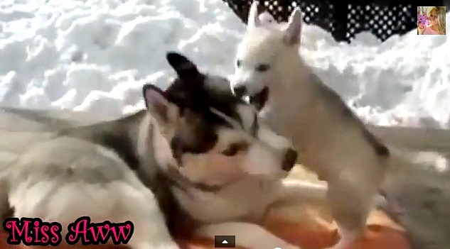Husky Puppy Tackles Mom