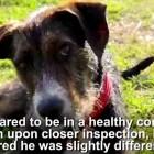 Australian Dog Born with Disability Needs a Home