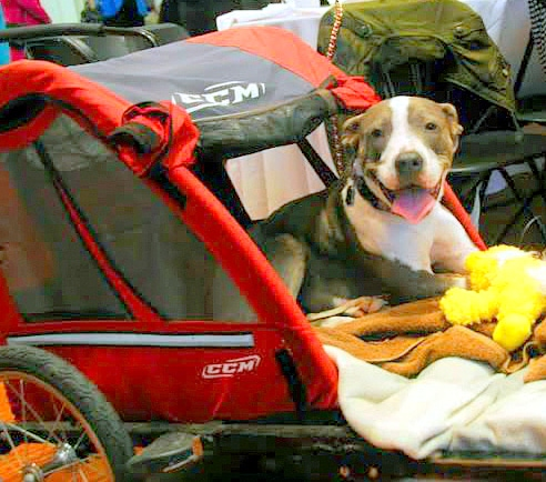 4.23.14 - Paralyzed Pit Bull Brings Hope to Patients3