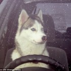 Siberian Husky Puppy Starts Owner's Car, Crashes it
