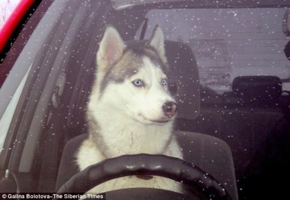 4.24.14 - Driving Husky