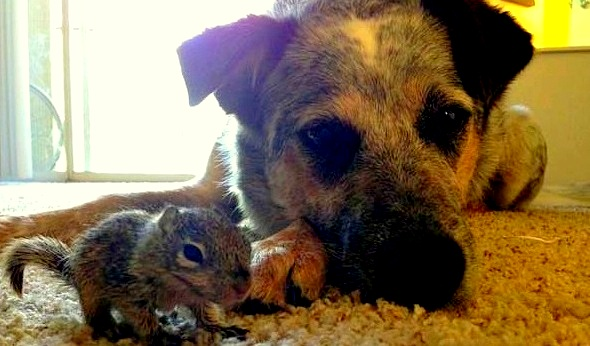 Family Dogs Adopt Orphaned Baby Squirrel