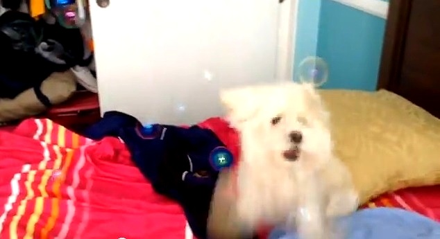 Dog Goes Berserk Eating Bubbles