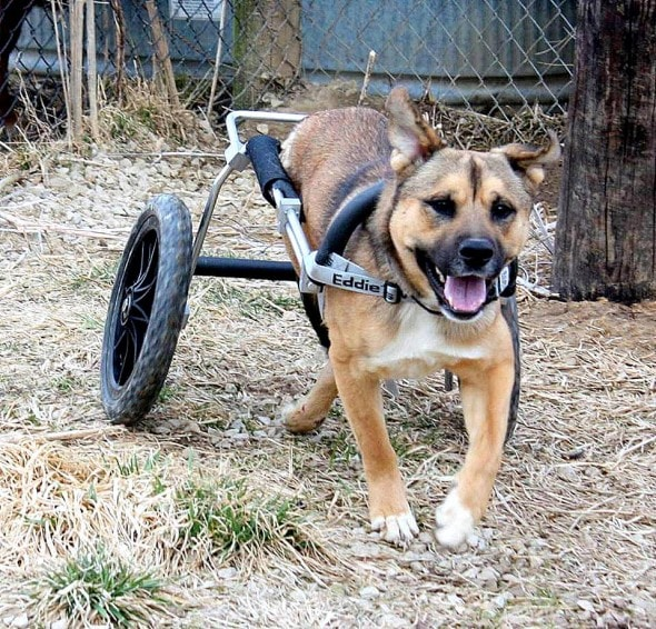 4.7.14 - Iraq War Vet Donates New Set of Wheels to Dog1