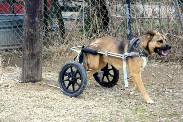 4.7.14 - Iraq War Vet Donates New Set of Wheels to Dog2