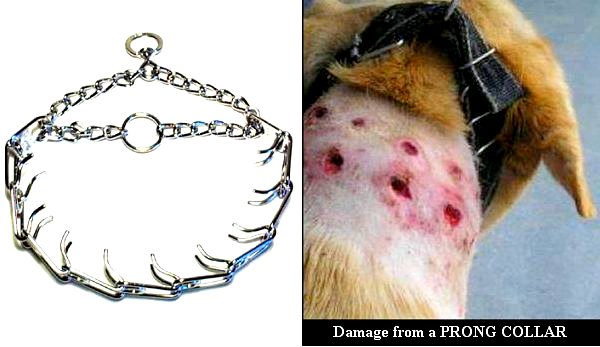 Gruesome image of injury caused by prong collar abuse.