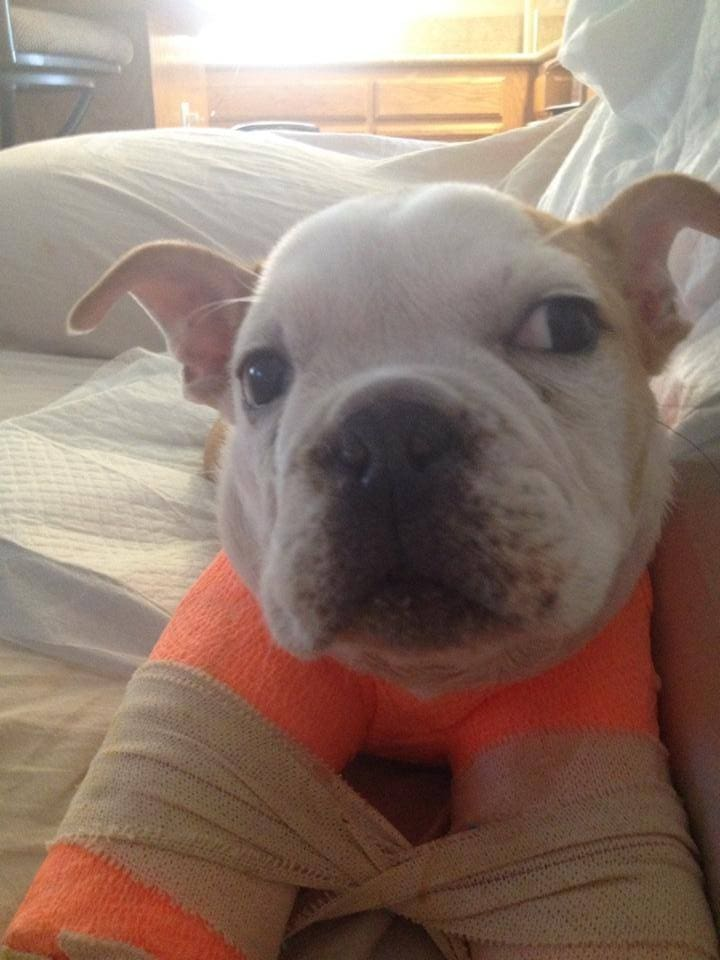 Puppy in Rehabilitation After Nearly Euthanized for Injuries