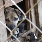 Exclusive for Life With Dogs: ASPCA Efforts to Combat Dog Fighting