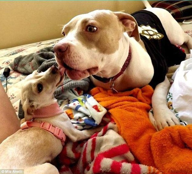 Rescue Pit Bull Helps Other Rescue Dogs Get Ready for Adoption