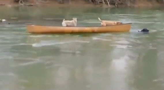 Dog Rescues Stranded Canine Pals from Drifting Canoe