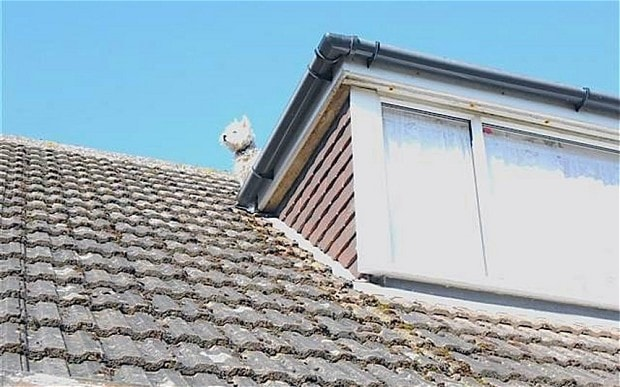 Silly Dog Chases Birds and Gets Stuck on Roof