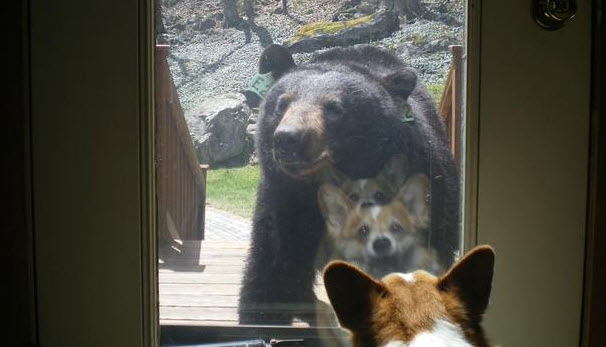 Dog Meets Black Bear At Front Door