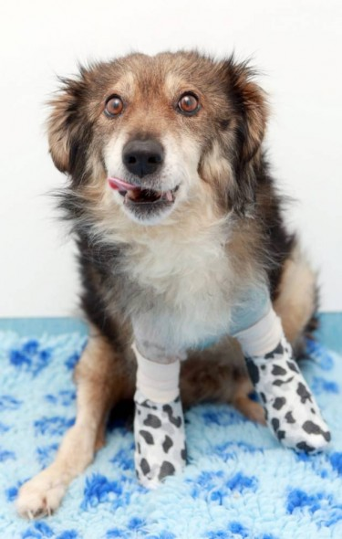 Picture shows 7-year-old stray dog Colin whose front legs were cut off. Photo Credit: Ross Parry