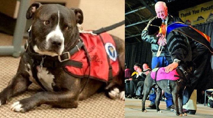 Service Pit Bull Walks in Deceased Owner's Place at Graduation