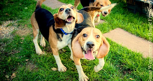 Beagles Rescued from Lab Testing Get First Taste of Freedom