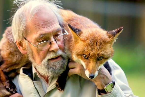 Mike Towler with rescued red fox in garden. Kent, UK, May 2009.