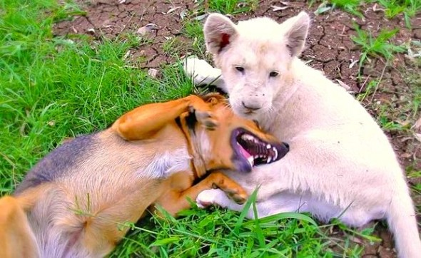 5.22.14 - Dog and Lion Cub Are Best Friends1
