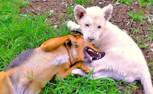 Dog & Lion Cub Are Best Friends