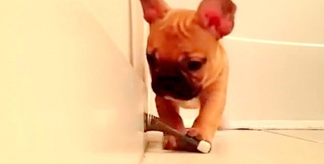 Adorable French Bulldog Puppy Takes on Menacing Door Stopper