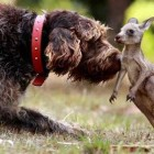 Pointer Comes to the Rescue of Baby Kangaroo