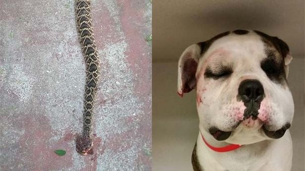 Heroic Dog Sacrifices Self to Save Family from Rattlesnake
