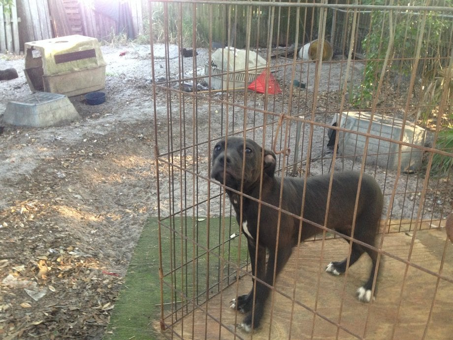 Seventeen Dogs Rescued in Florida Dog Fighting Bust