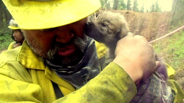 5.31.14 - Alaskan Firefighters Rescue Wolf Puppies3