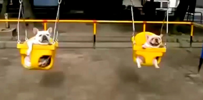 Dogs on Swings