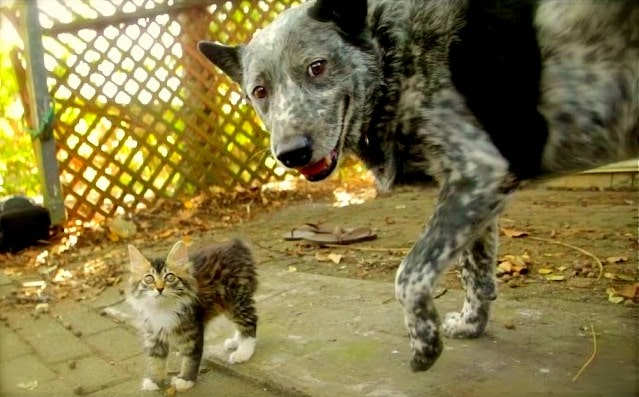 Cattle Dog Forms Special Friendship with Disabled Kitten
