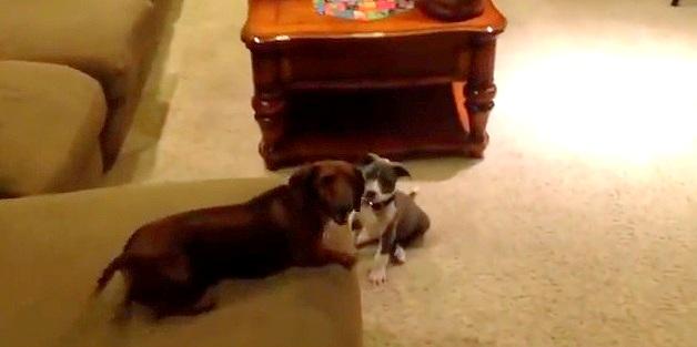 "Pit Bull Puppy ""Terrorizes"" Dachshund"