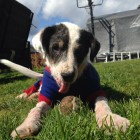 Puppy Given Weeks to Live Now Thriving Under Continued Care