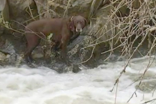 Labrador Rescued from White Water Rafting River