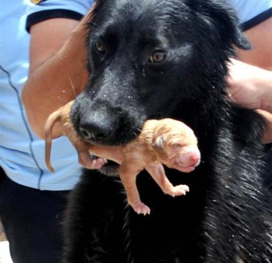 Stray Momma Dog Saves Puppies from Drowning
