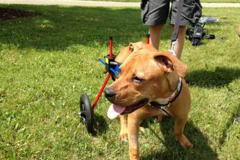 Paralyzed Pit bull Puppy Left for Dead Recovers
